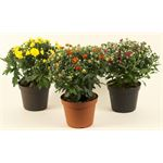 """Additional Images for 6"""" Garden Mum         (Case 8)"""