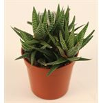 "Additional Images for 3.25"" Succulent - Haworthia     (Case 18)"
