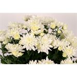 """Additional Images for 6"""" Mum White Flat (Case 8)"""