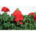 "Additional Images for 4"" Geranium         (Case 18)"
