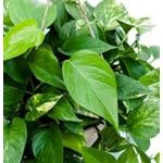 "Additional Images for 6"" Pothos Golden     (Case 8)"