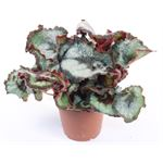 "Additional Images for 5"" Rex Begonias   (Case 12)"