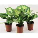 "Additional Images for 3.5"" Dieffenbachia        (Case 18)"