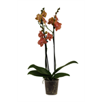 """Additional Images for 5"""" Phal.  Orchid  3 Spike       Case 10"""