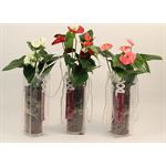 """Additional Images for 4"""" Anthurium in Glass         (Case 10)"""