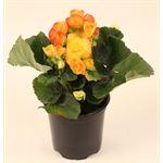 """Additional Images for 4.5"""" Begonia Bi-Color (Case 15)"""