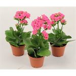 "Additional Images for 2.5"" Kalanchoe Hot Pink (Case 28)"