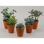 """Additional Images for 4"""" Succulents in Clay    (Case 15)"""
