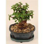 "Additional Images for 6"" Bonsai Assortment Intermediate   (Case 8)"