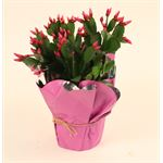 "Additional Images for 4.5"" Rhipsalidopsis Premium - Plain Pot (Spring Cactus)  (Case 15)"