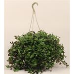 "Additional Images for 10"" Hanging Basket Assorted  (Case 4)"