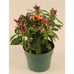 """Additional Images for 6"""" Ornamental Pepper    """"phyto""""    (Case 8)"""