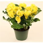 "Additional Images for 6"" Begonia Assorted 3ppp (Case 8)"