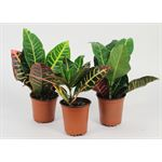 "Additional Images for 3.5"" Croton Assorted"