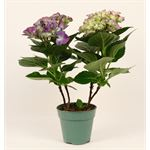 "Additional Images for 4.5"" Hydrangea    (Case 15)"