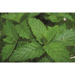 "Additional Images for 4.33"" Herbs      Mint Mojito    (Case 10)"