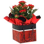 """Additional Images for 4"""" Kalanchoe in Chinese New Year Gift Box   (Case 15)"""