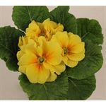 "Additional Images for 4"" Primula Acaulis   (Case 18)"