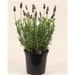 """Additional Images for 6"""" Lavender (flowering)   (Case 8)"""