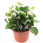 "Additional Images for 6"" Kalanchoe Premium White (Case 8)"