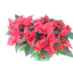 """Additional Images for 8"""" Poinsettia         Red       (Case 4)"""