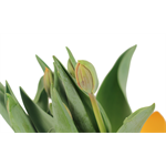 """Additional Images for 6"""" Tulip            (Case 8)"""