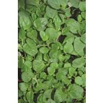 """Additional Images for 4.5"""" Herbs Organic Oregano   (Case 15)"""