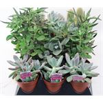 "Additional Images for 3.25"" Cacti & Succulents Assorted"