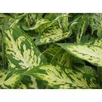 """Additional Images for 2.5"""" Dieffenbachia (Pack 28)"""