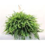 "Additional Images for 12"" HB Boston Ferns - Jumbo       (Case 2)"