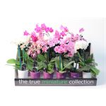 "Additional Images for 2.5"" Phalaenopsis Orchids in Ceramic in Display       (Case 18)"