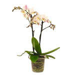 "Additional Images for 3.5"" Phalaenopsis Multiflora  MULTI SPIKE   (Case 18)"