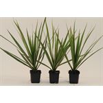 "Additional Images for 3"" Dracaena Marginata  (case 32)"