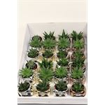 "Additional Images for 2.5"" Succulent in Nevada Pot   (Pack  24)"