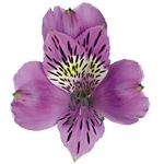 Additional Images for Alstroemeria Select Mauve
