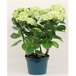 "Additional Images for 8"" Hydrangea   (Case 4)"