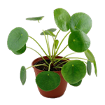 """Additional Images for 4"""" Pilea  (case 15)"""
