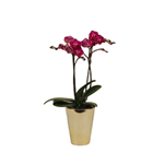 """Additional Images for 5"""" Phal Orchid Maxiflora in Ceramic Pot (Case 8)"""