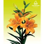 Additional Images for Lily 4 Bloom Orange