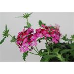 "Additional Images for 4"" Verbena              (Cased - 18)"