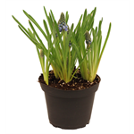 "Additional Images for 4"" Muscari            (Case 18)"