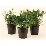 """Additional Images for 4"""" Rose Assorted (Case 18)"""