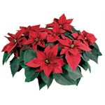 """Additional Images for 10"""" Poinsettia             RED       (Case 2)"""