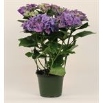 "Additional Images for 6"" Hydrangea      5 Bloom       (Case 6)"