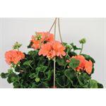 """Additional Images for 10"""" HB Geranium - Zonal Premium    (Case - 4)"""