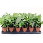 """Additional Images for 3.5"""" Philodendron     (Case 18)"""