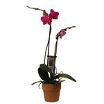 """Additional Images for 5"""" Phal Orchid 2 Spike in Terra Cotta (Case 8)"""