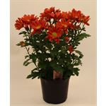 "Additional Images for 4.5"" Mums Red Daisy (Case 15)"