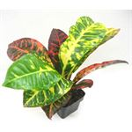 "Additional Images for 3"" Croton Norma       (Case 32)"