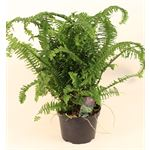 "Additional Images for 6"" Ferns Assorted     (Case 8)"